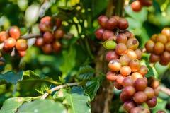 Chicchi di caffè sull'albero in azienda agricola Immagini Stock Libere da Diritti