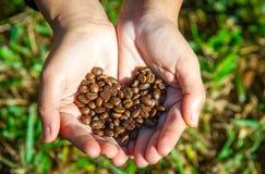Chicchi di caffè sulla mano dell'agricoltore Fotografia Stock