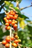 Chicchi di caffè sulla pianta fotografia stock
