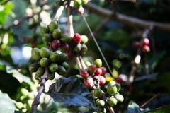 Chicchi di caffè sulla pianta Immagini Stock