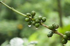 Chicchi di caffè verdi Fotografia Stock Libera da Diritti