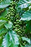 Chicchi di caffè verdi che crescono sulla filiale. Immagini Stock