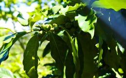 Chicchi di caffè verdi su un albero in Lat del Vietnam Da fotografie stock