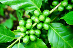 Chicchi di caffè verdi sulla pianta Fotografia Stock