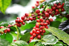 Chicchi di caffè che maturano sull'albero Immagine Stock Libera da Diritti