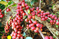 Chicchi di caffè freschi sulla pianta Immagini Stock Libere da Diritti