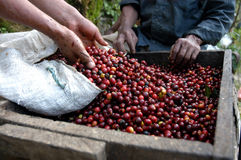 Chicchi di caffè Guatemala Fotografia Stock