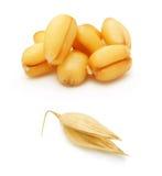 Chicco di avena e del grano isolato Immagini Stock