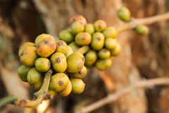 Chicco di caffè che cresce sulla pianta del caffè immagine stock libera da diritti