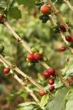 Chicco di caffè colombiano rosso. Fotografia Stock Libera da Diritti