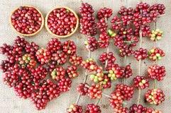 Chicco di caffè fresco rosso Fotografie Stock