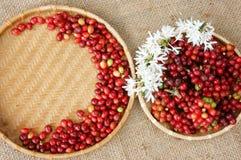 Chicco di caffè fresco rosso Immagini Stock