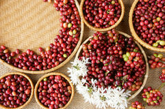 Chicco di caffè fresco rosso Immagine Stock Libera da Diritti