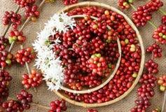 Chicco di caffè fresco rosso Immagini Stock Libere da Diritti