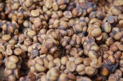 Chicco di caffè indonesiano del luwak Immagine Stock