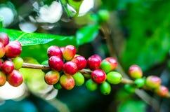 chicco di caffè, pianta del caffè Fotografia Stock