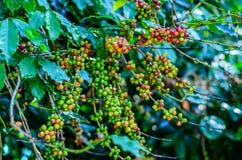 chicco di caffè, pianta del caffè Immagine Stock Libera da Diritti