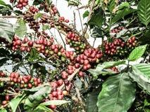 Chicco di caffè rosso Fotografia Stock