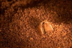 Chicco di caffè sul caffè macinato. Immagini Stock
