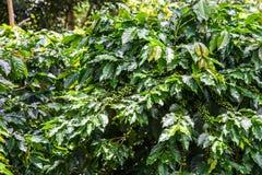 Chicco di caffè verde sull'albero, agricoltura Fotografia Stock