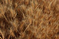 chicco di grano Immagini Stock