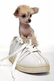 ChiChi Puppy Dog. A cross between a Chihuahua and a Chinese Crested dog Stock Photos