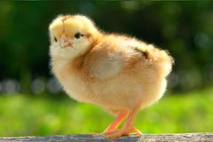 Chick. On a green background Stock Photography
