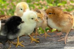 Chick Stock Images