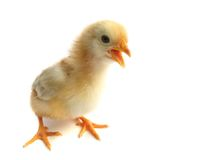 Chick. The chicken (Gallus gallus domesticus) is a domesticated fowl. As one of the most common and widespread domestic animals, and with a population of more Stock Photo