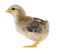 Chick, 15 days old, standing. In front of white background stock images