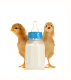 Chick Royalty Free Stock Photo