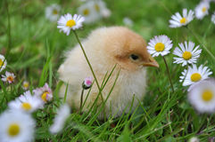 Chick. Young chick sits between daisies on grass Stock Image