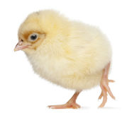 Chick, 2 days old stock photo