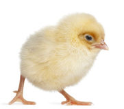 Chick, 2 days old Royalty Free Stock Image