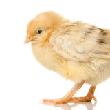 Chick. In front of a white background Stock Photos