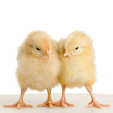 Chick Stock Photography