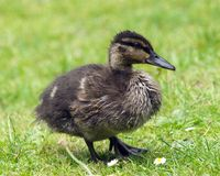Chick. Mallard chick on green grass with daisies Stock Photos