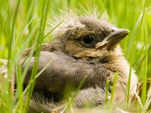 Chick. A young chick resting in the grass Royalty Free Stock Photography