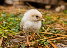 Chick. Portrait of a few days old chicken Stock Photos