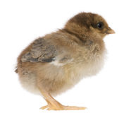 Chick, 4 days old, standing Royalty Free Stock Photo