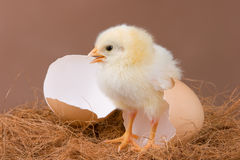 Chick. The chick pose near the egg shell, which it hatched previous day Royalty Free Stock Images