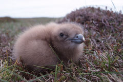 Chick. Freshly hatched skua chick royalty free stock photo