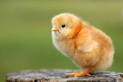 Chick Stock Photos