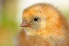 Chick Royalty Free Stock Images