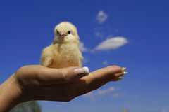 The chick Stock Image