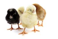 Chick Stock Image