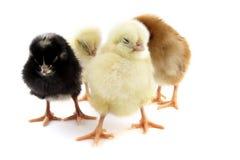 Chick Stock Image