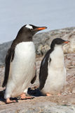 Chick and adult bird Gentoo penguin near Stock Image