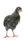 Chick araucana in studio. Young araucana in front of white background Royalty Free Stock Photos