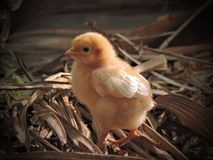 Cute chicks royalty free stock photo